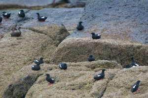 BLGU on rocks, Eastern Egg Rock,6-12-13