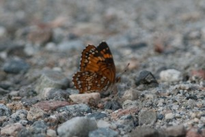 DSC_0144_HarrissCheckerspot,WildcatMtn,6-17-13