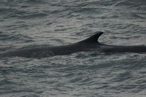 DSC_0411_Fin_Whale,Off_Bar_Harbor,6-21-13