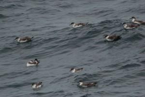 DSC_0423_GRSH_flock,offBarHarbor,6-21-13