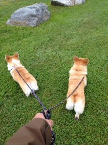 walking corgis,6-12-13