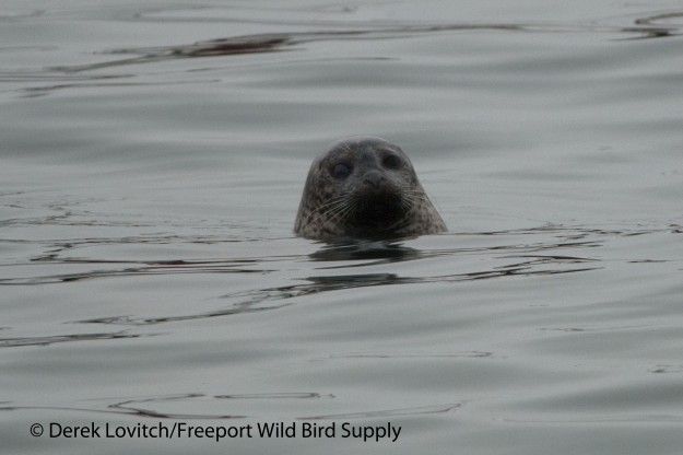 DSC_0025_Harbor_Seal,OldPort,3-2-14