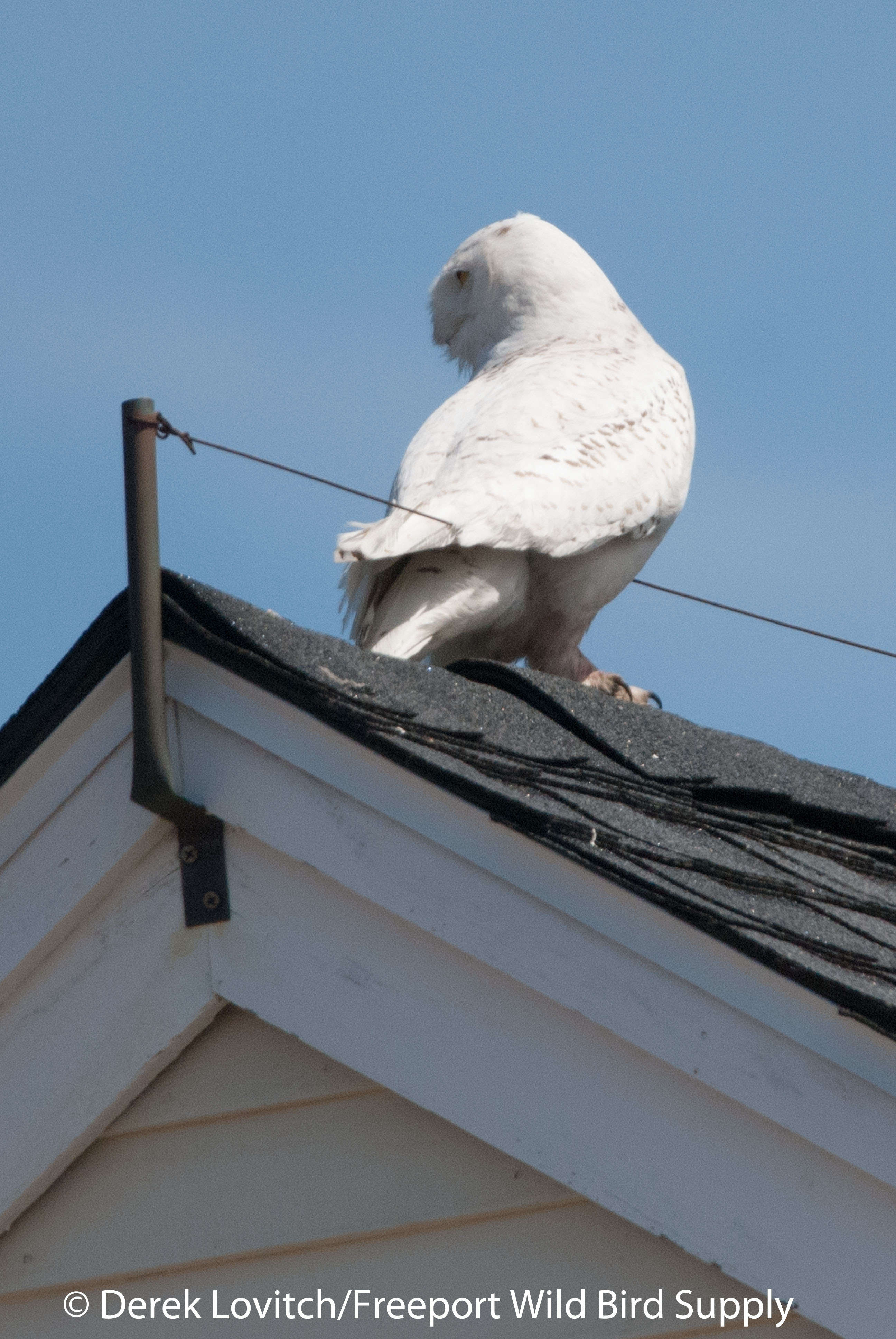 Biddeford Pool Snowy Owl And Weather Discussion Maine Birding Field Notes