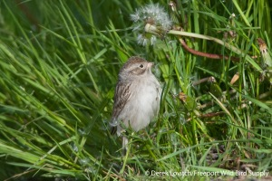 DSC_0069_BRSP2,Monhegan,5-25-14_edited-1
