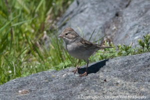 DSC_0120_BRSP3,Monhegan,5-25-14_edited-1