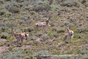 Antlope