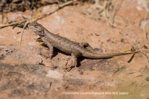 lizard - Colorado N.M.