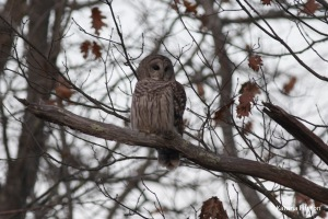 barred owl_edited-1