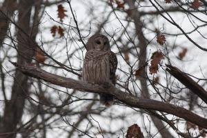 barred owl_edited-1