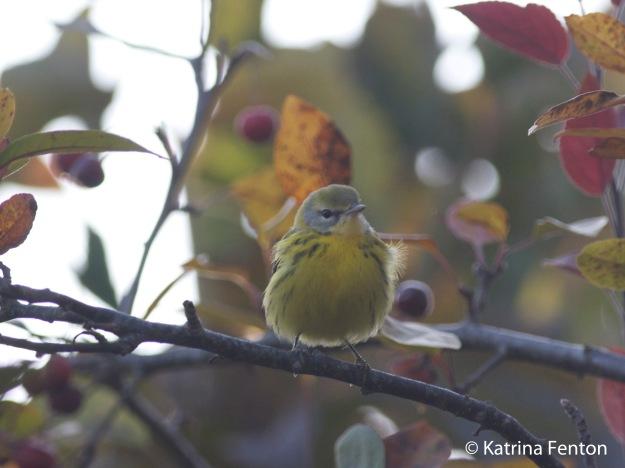 prairie warbler_edited-1
