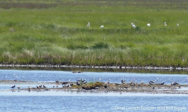 marsh_birds