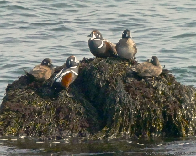 Harlequin Ducks (Histrionicus histrionicus) at Marginal Way, Ogunquit, ME