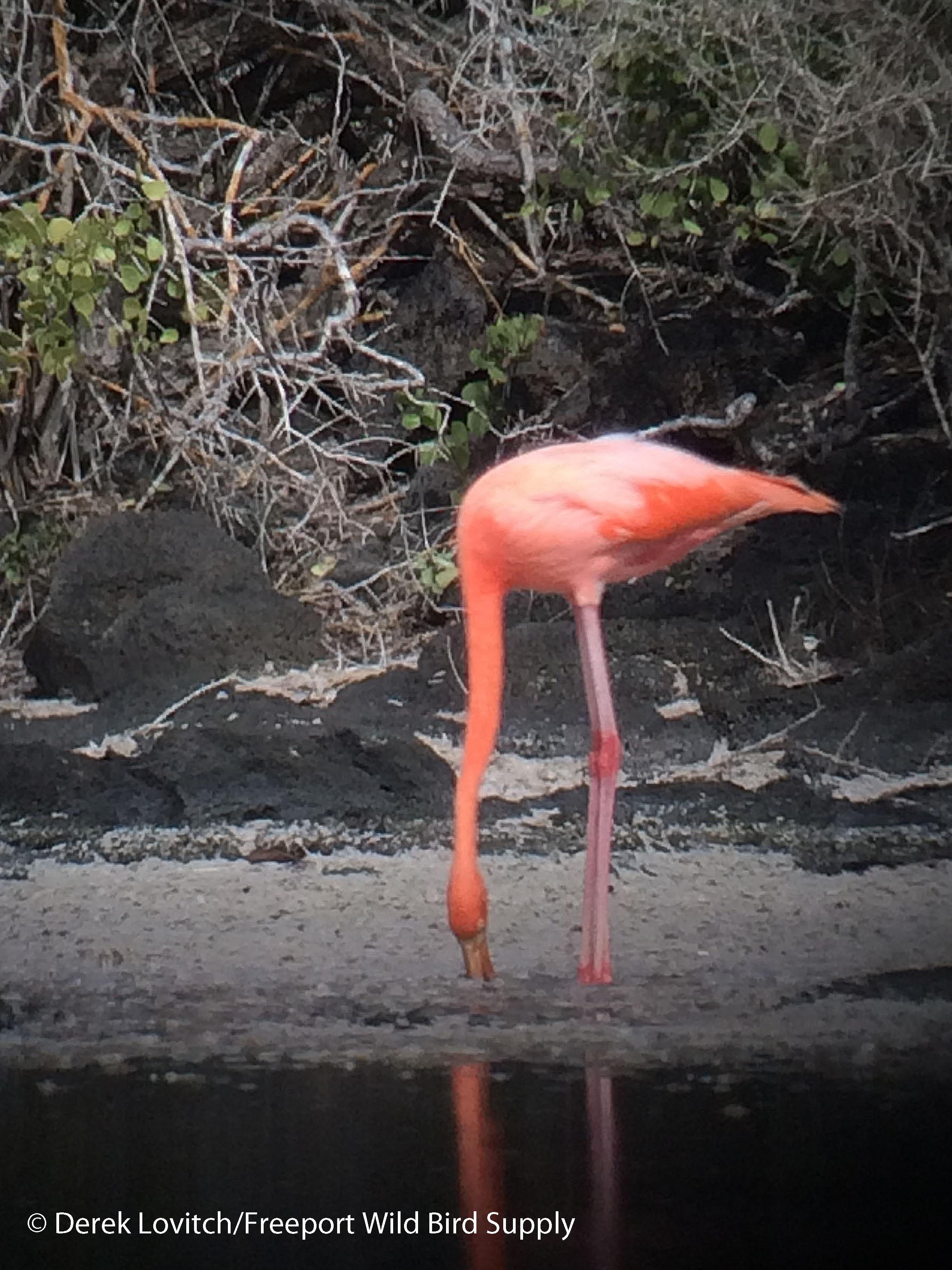 Flamingo1_edited-1