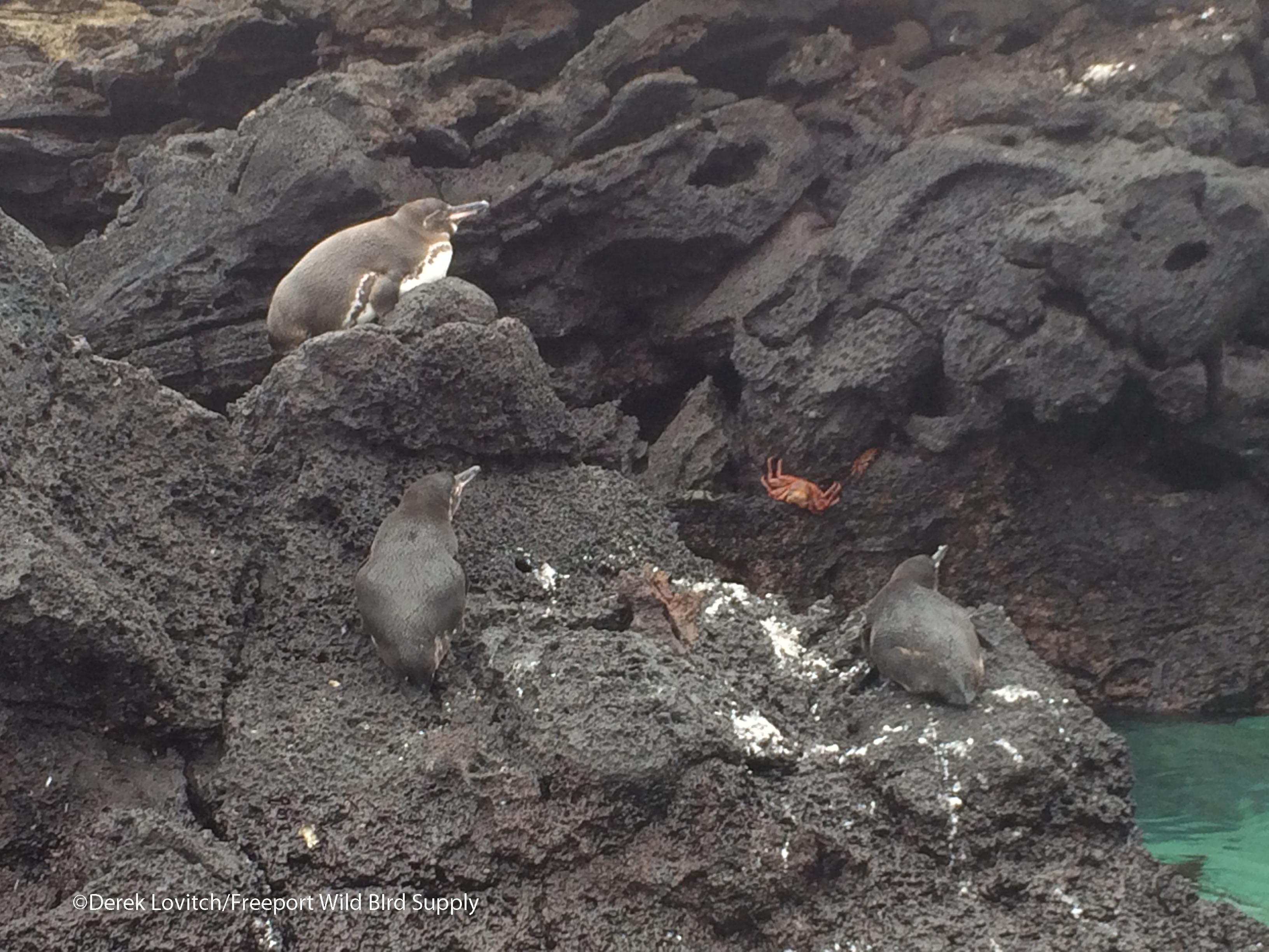 GalapagosPenguins