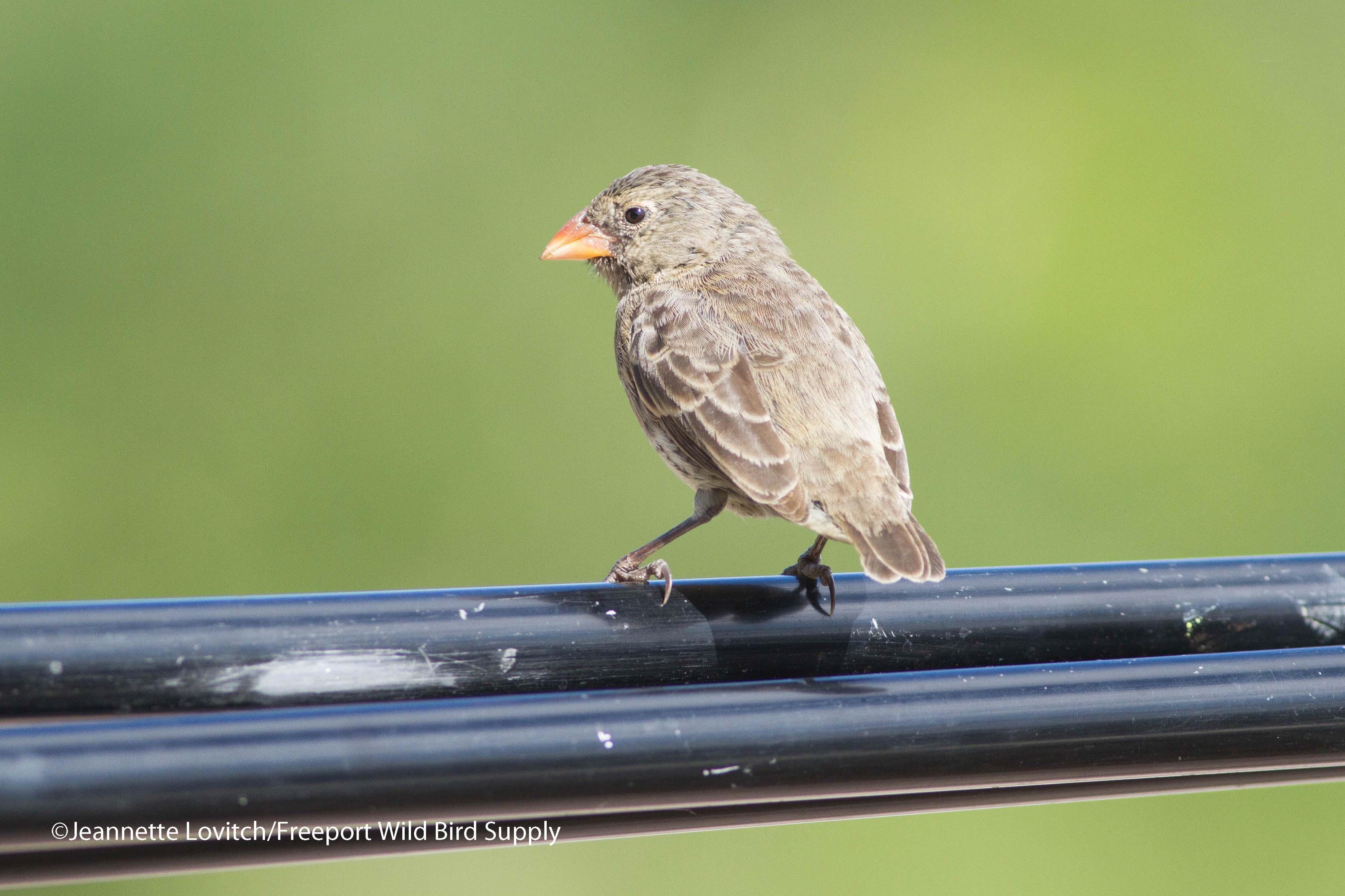 largerSmallGround-Finch