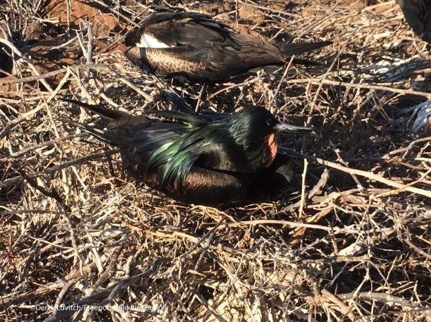 MAFR-nest