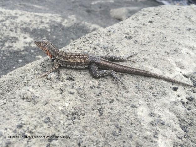 maleLava Lizard