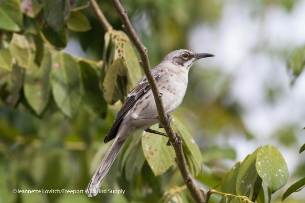 San Cristobal Mockingbird