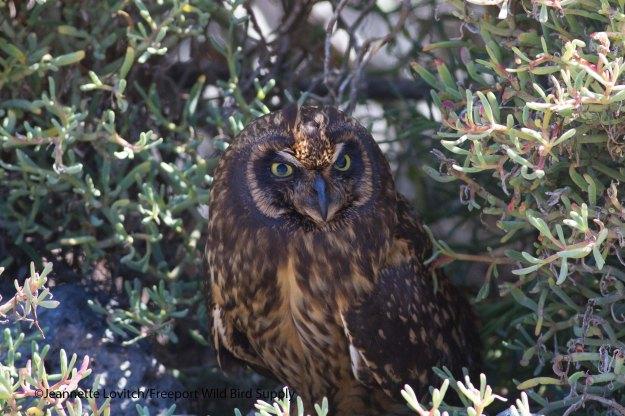 Short-earedOwl