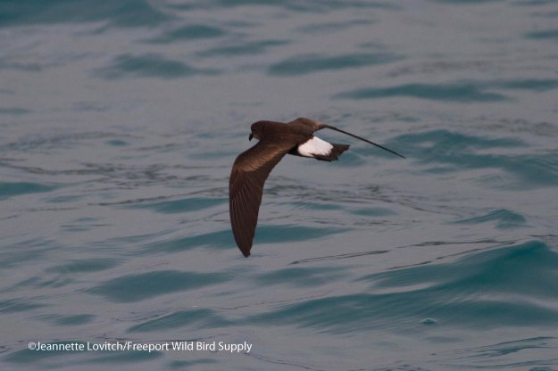 Wedge-rumped Storm-Petrel