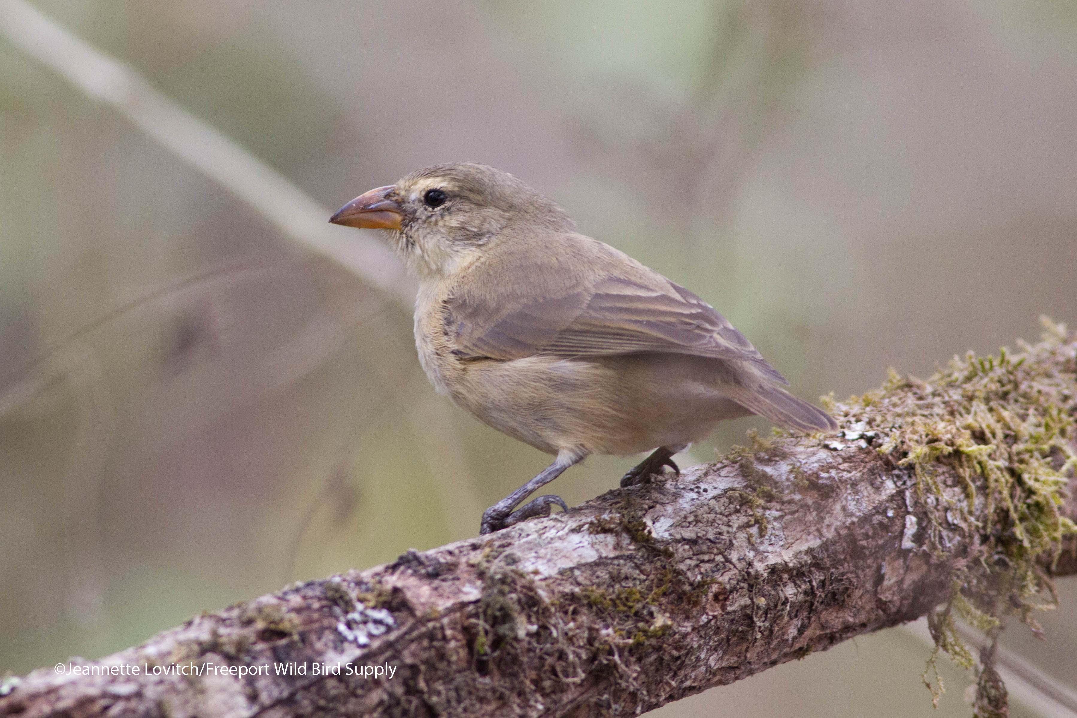 WoodpeckerFinch