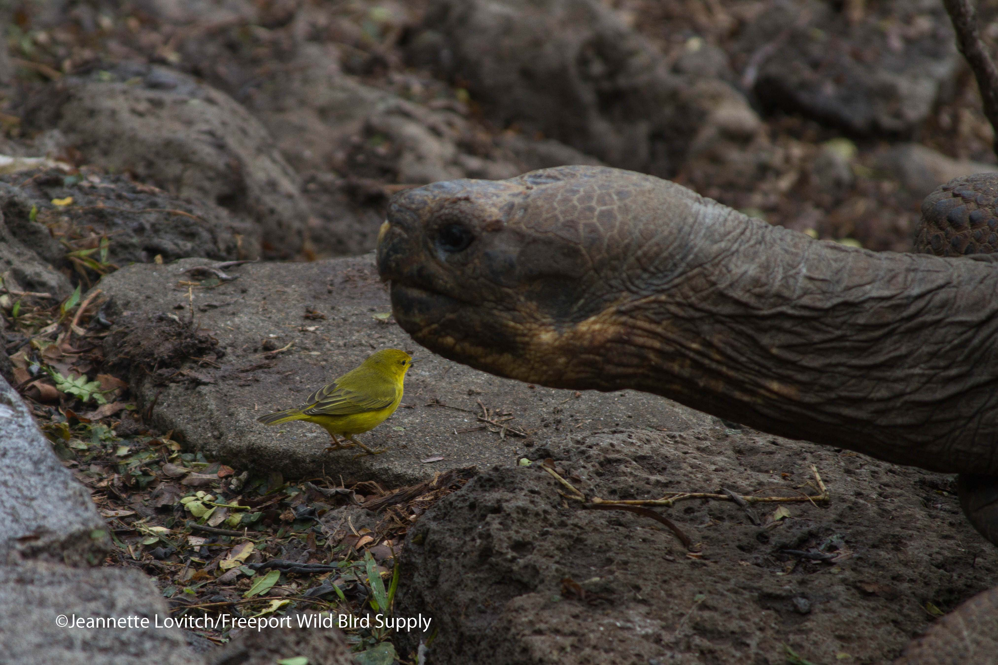 YWAR_and_tortoise
