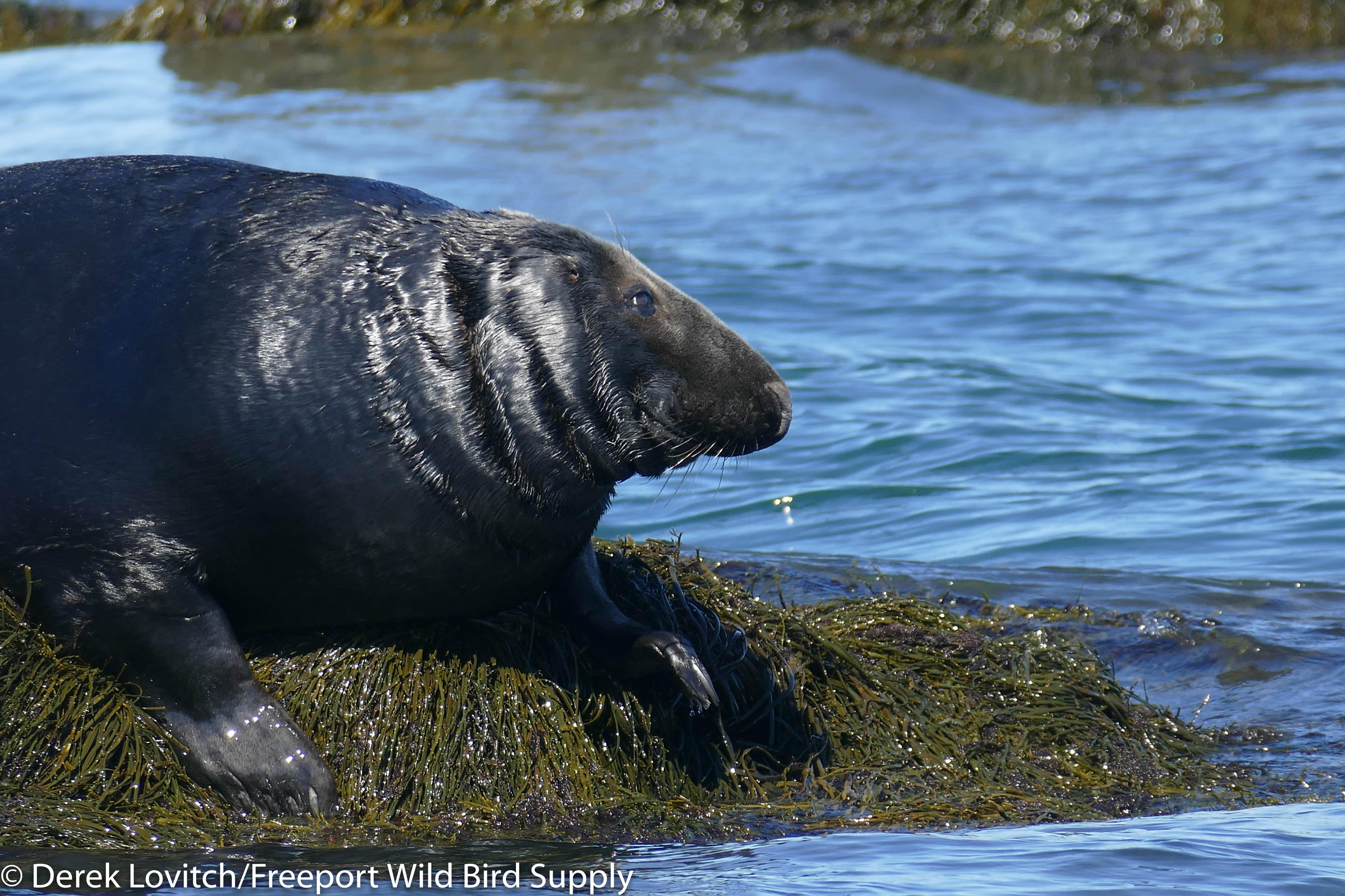 21. boat trip 12 - Gray Seal 3