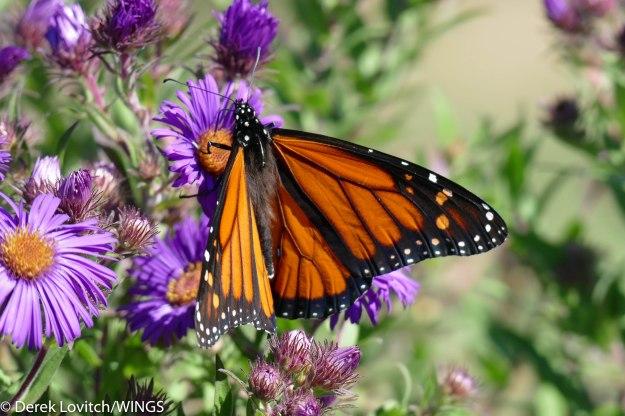 monarch-9-24