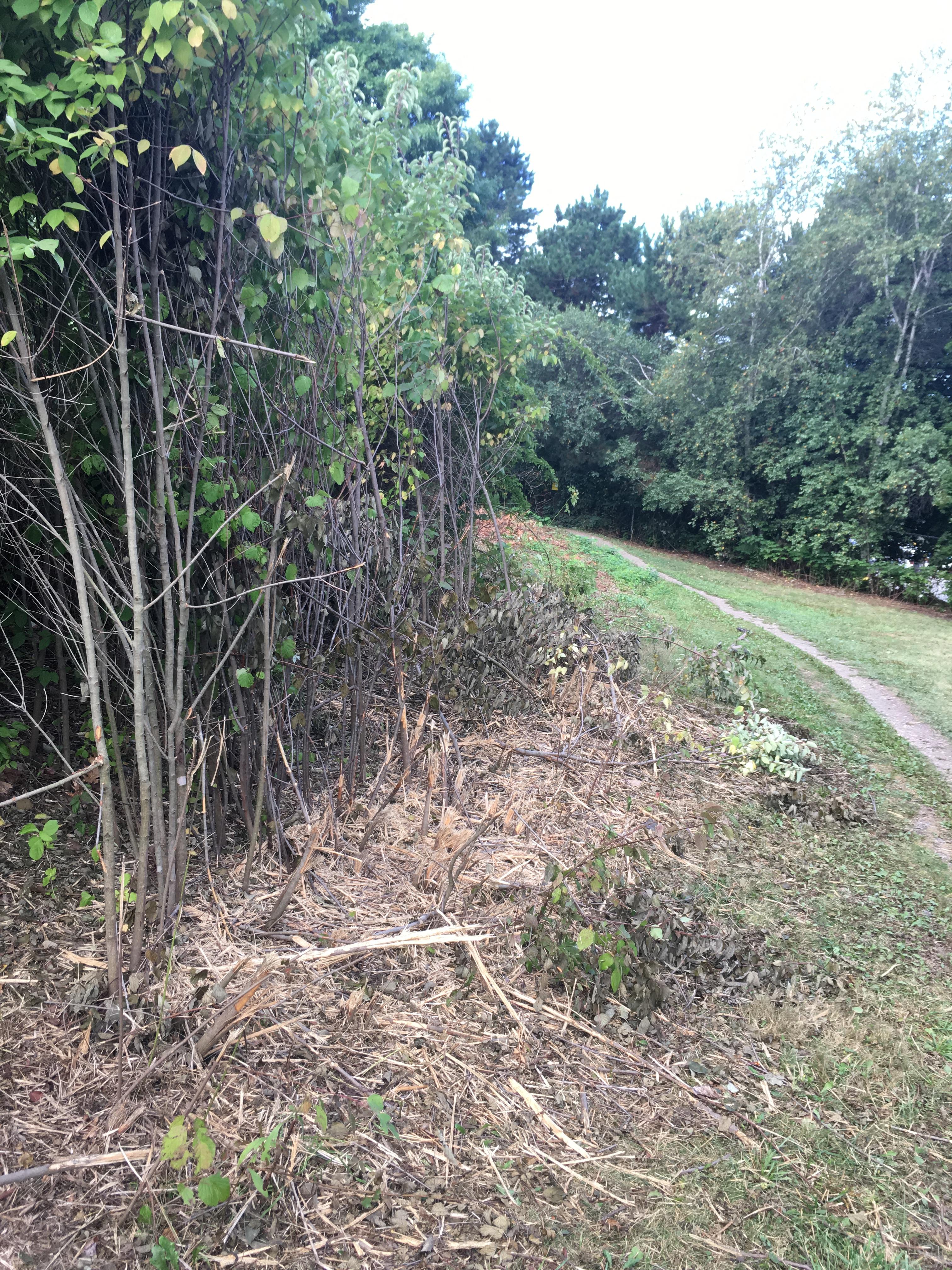 gray-stemmed-dogwood