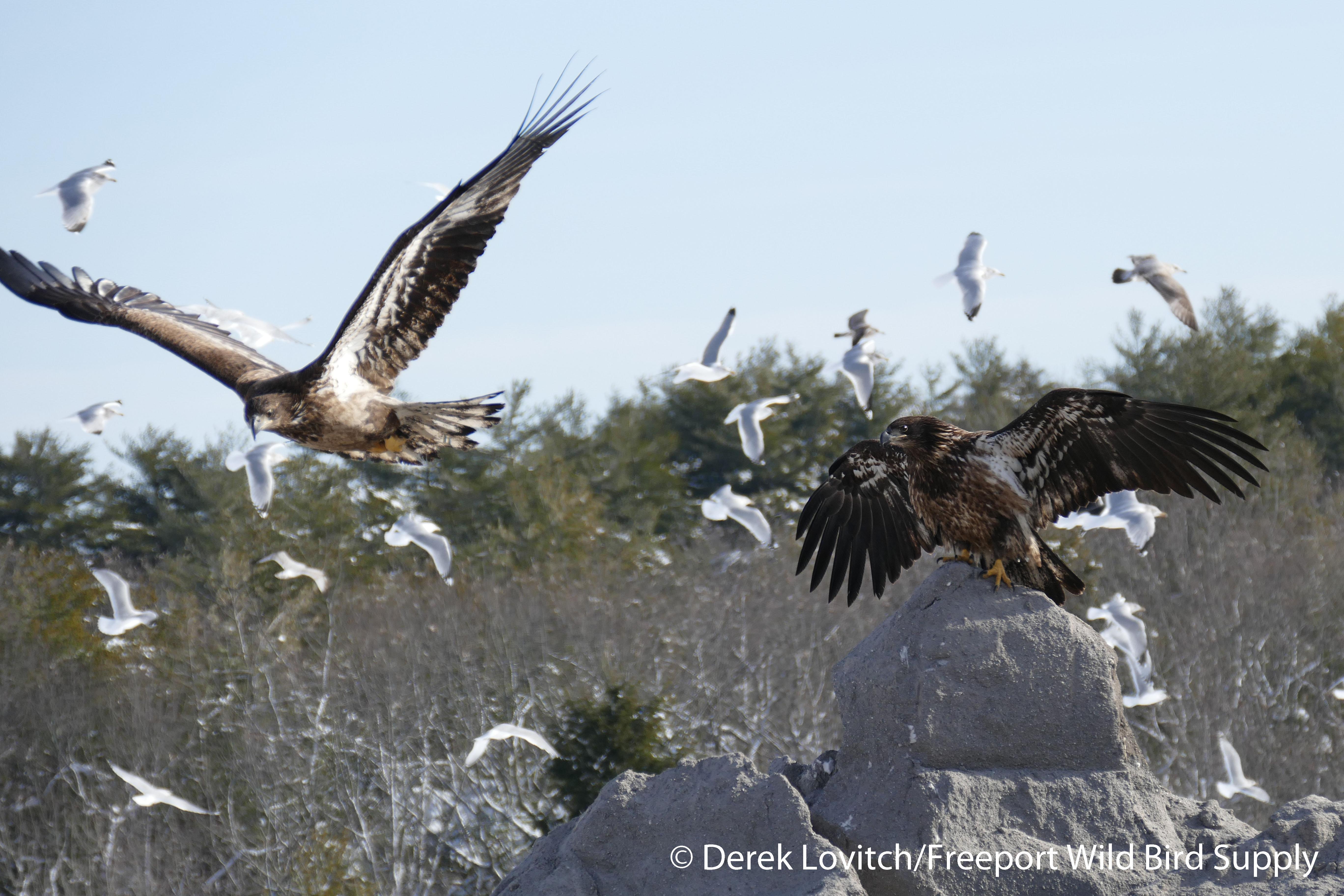 landfill_eagles