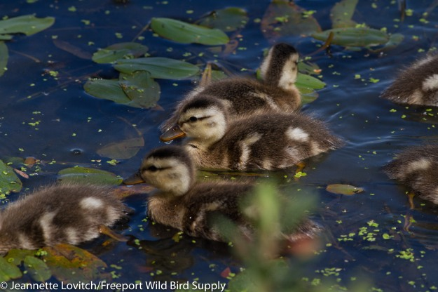 Gadwall_chicks