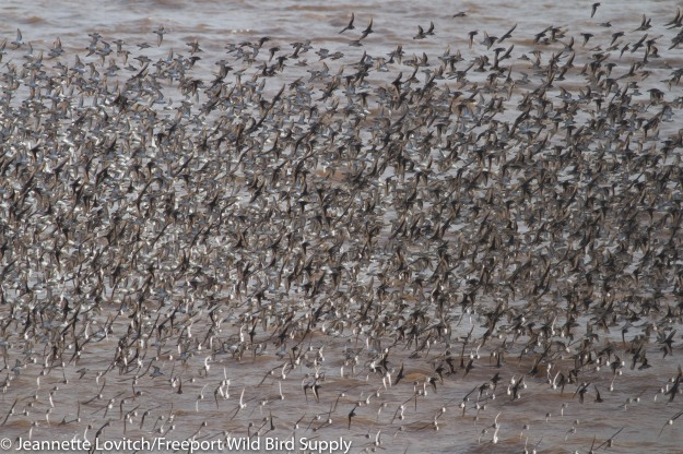shorebirds1-A