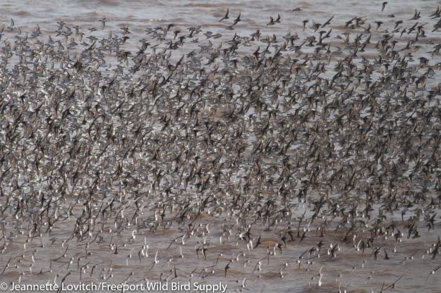 shorebirds1-A