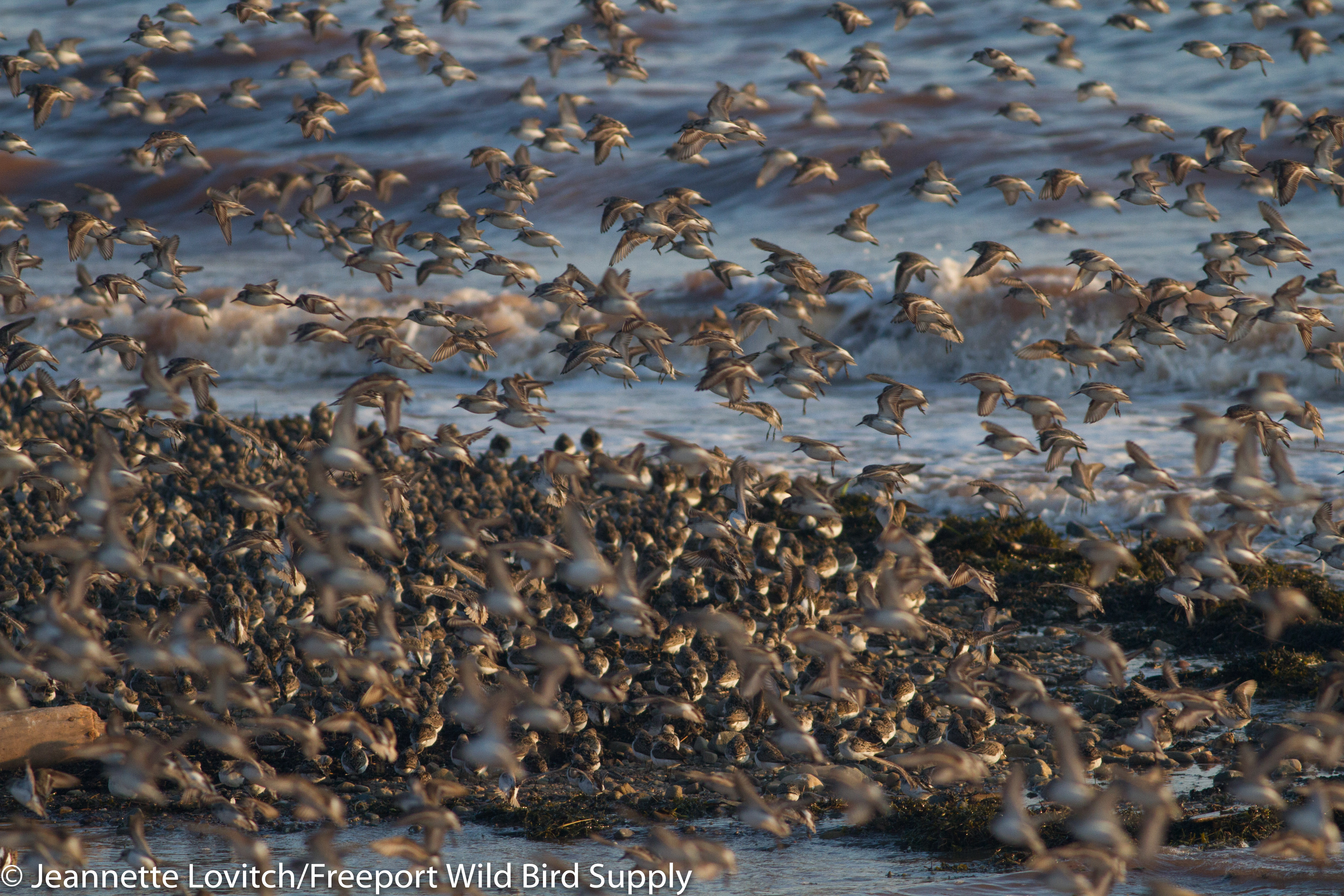 shorebirds6