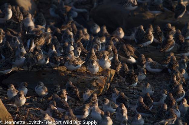 shorebirds7