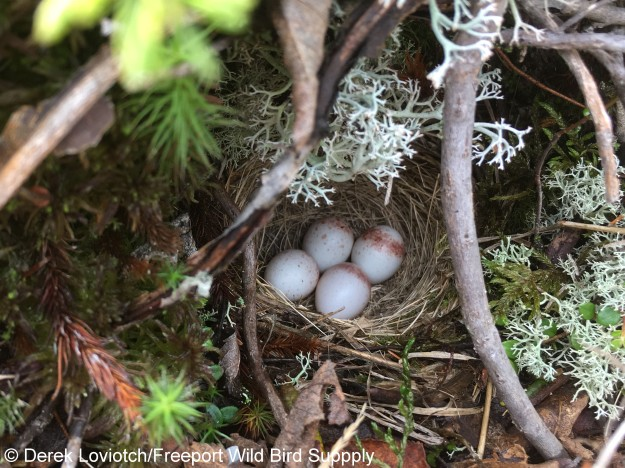 34. junco_eggs