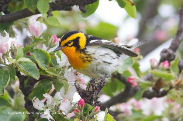 warblers & wort-edited-2