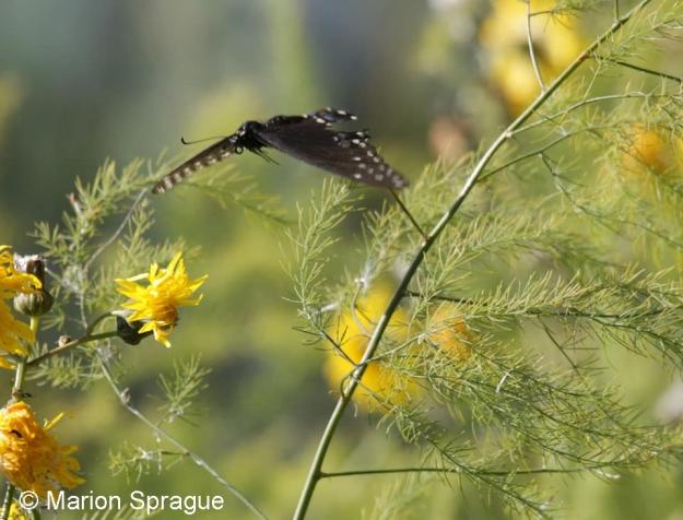 Black_Swallowtail1,Marion_Sprague