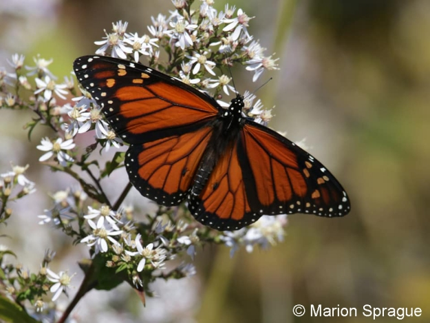 Monarch1,Marion_Sprague
