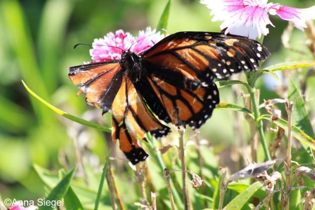 Monarch_tattered,A.Siegel