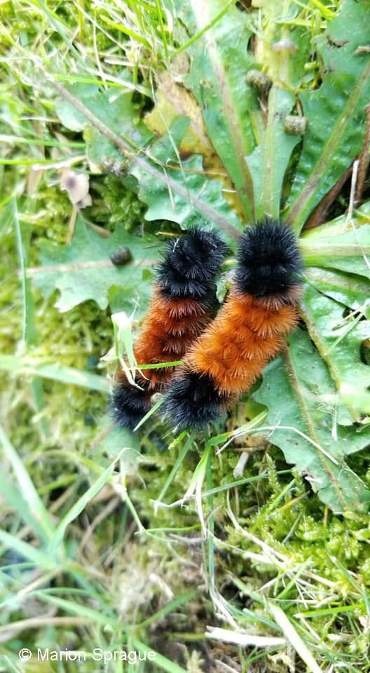 Wooly Bears1,Marion_Sprague
