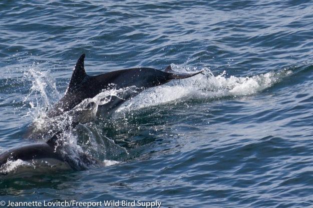 Common_Dolphin